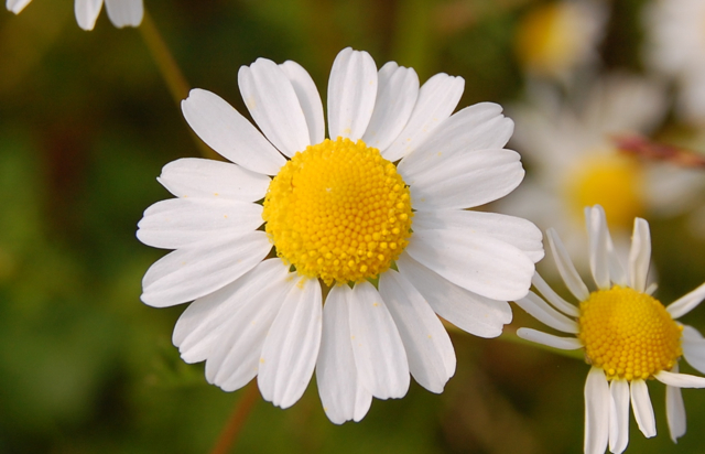 Chamomile as Medicine for Anxiety