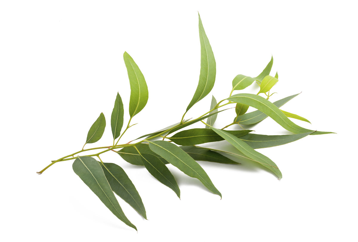 Eucalyptus as Medicine for Anxiety