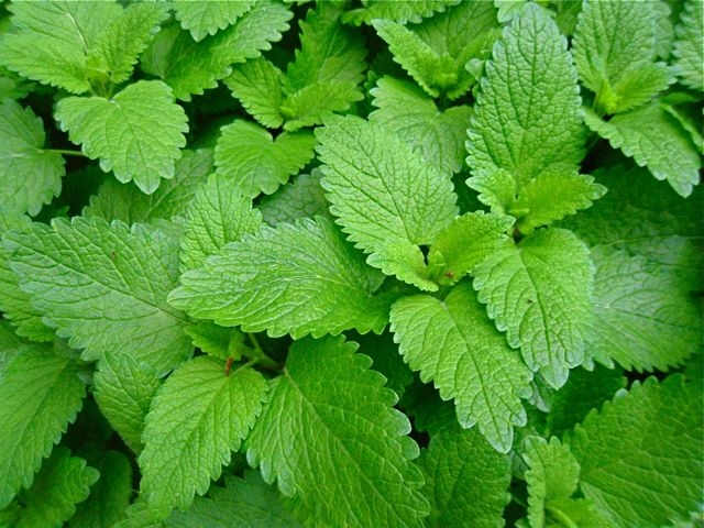 Lemon Balm as Medicine for Anxiety