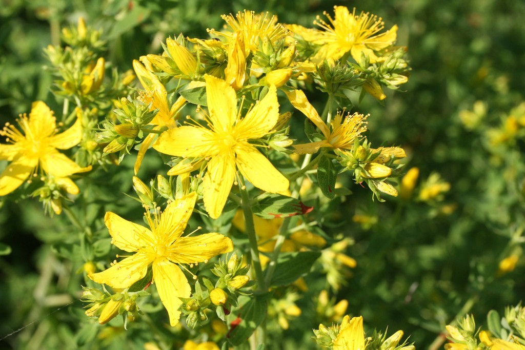 St. John's Wort as Medicine for Anxiety