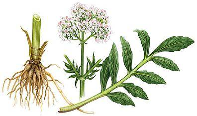 Valerian Root as Medicine for Anxiety