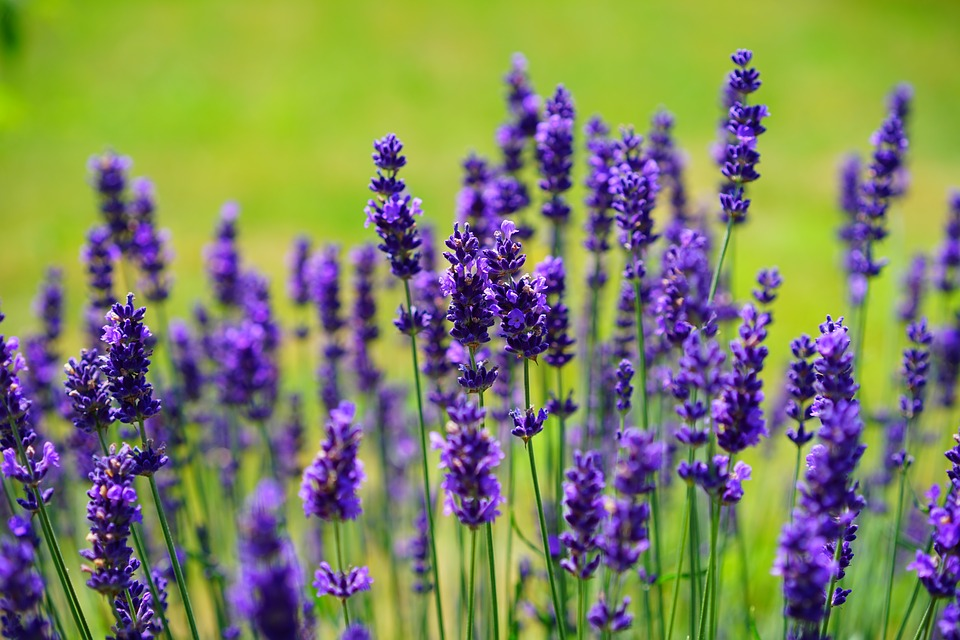 Lavender as Medicine for Anxiety