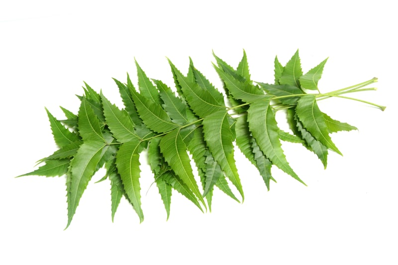 Neem Oil Uses – Treats Fungal Infection