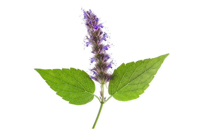 Patchouli Oil is Used for Aromatherapy