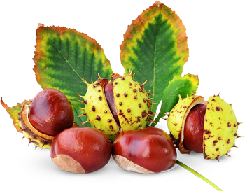 Horse Chestnut Benefits Chest Pain and Circulation