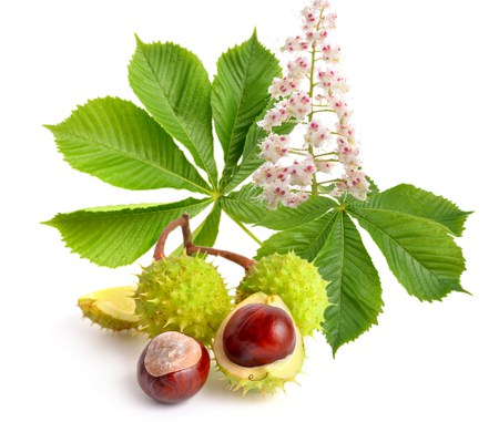 Horse Chestnut Benefits Heavy and Cramping Legs